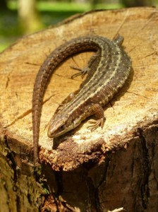 Southwood Common Lizard