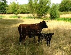 Hawley Meadows Calf and Cow