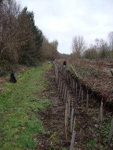 Planting a new hedge at Grant's Moor North