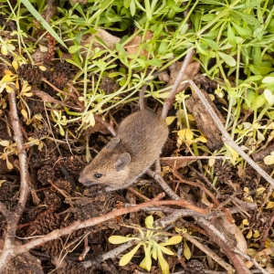 Field Mouse at Moor Green Lakes