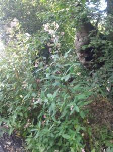 Himalayan balsam or triffid