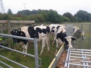 Cows inspect new gates