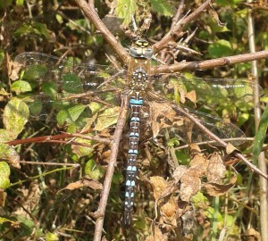 Male Migrant Hawker Dragonfly