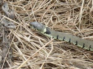 Tame grass snake
