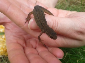 Female smooth newt