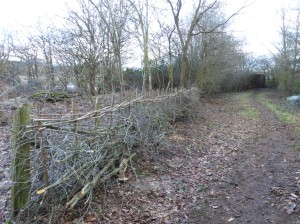 Colebrook hide hedge after laying