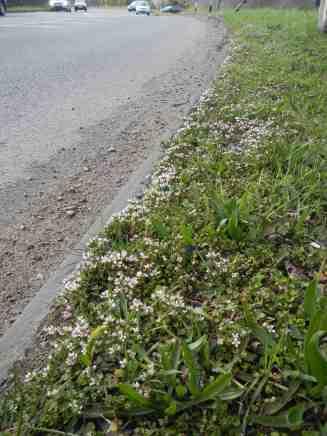 Scurvygrass on Shepherd & Flock roundabout, Farnham