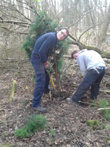 Callum and Keiran dig up invasive pine