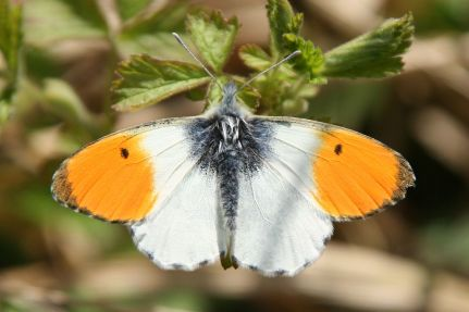 Orange-tip butterfly (Rosenzweig)