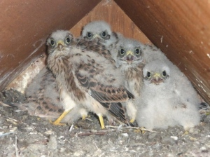 Five kestrel chicks developing adult plumage