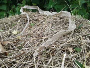 Sloughed Grass Snake Skin