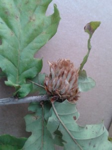 Artichoke gall on oak