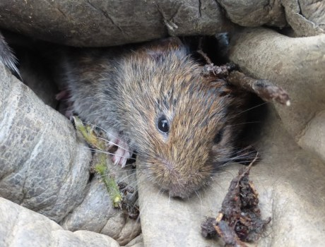Tame field vole