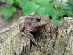Tame immature toad