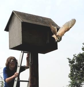 Adult barn owl leaving box (photo by Melvyn)