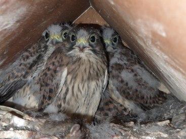 Kestrel chicks - three with an extra hidden bottom