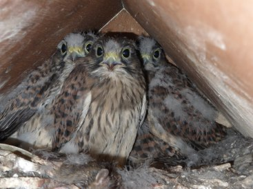 Kestrel chicks - three with an extra hidden bottom