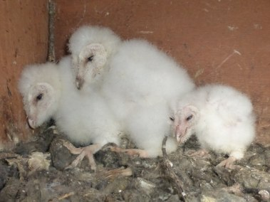 Fluffy barn owl chicks 3-4 weeks old