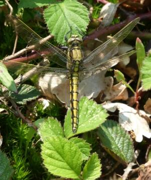Female black-tailed skimmer dragonfly