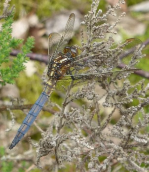 Male Keeled Skimmer