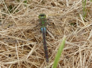 Female emperor dragonfly - unusual blue form