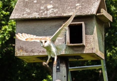 Barn Owl leaving box (Chris Bean photo)