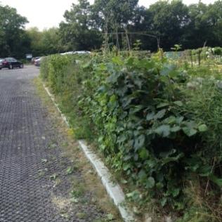 car park hedge trimmed 2