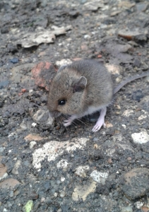 Tame mouse at Southwood