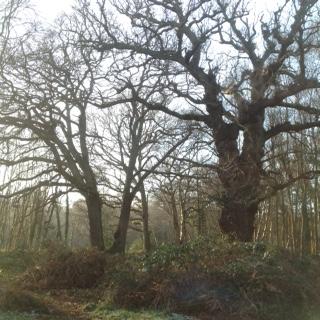 veteran-oaks