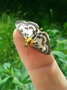 Small Magpie Moth Ash Lock