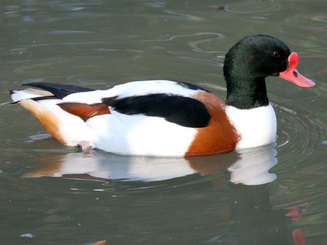 1200px-common_shelduck_28tadorna_tadorna29_at_sylvan_heights