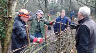 Volunteers hedgelaying at Moor Green Lakes