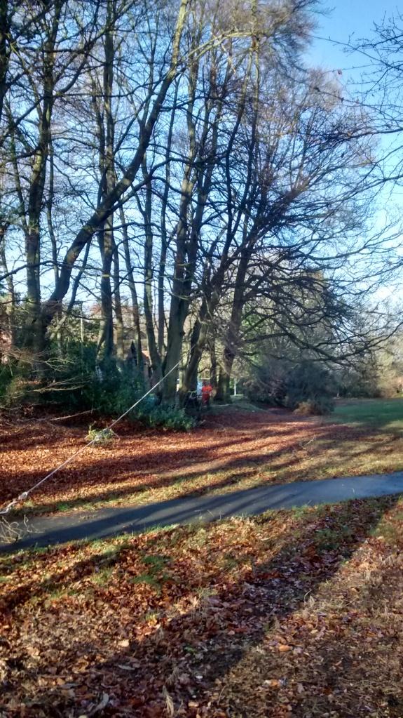 Winching a beech tree in the field