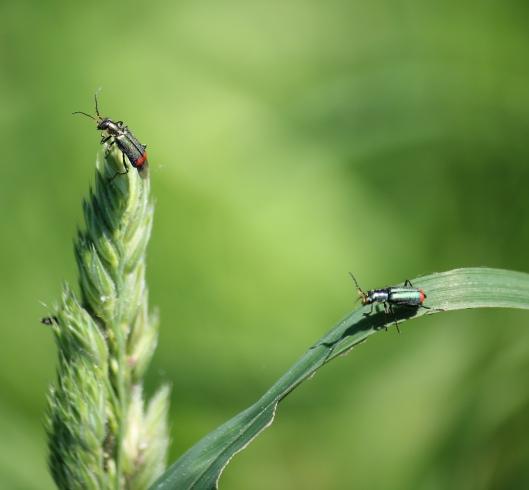 2018 May 19Red-tipped flower beetle Malachius bipustulatus moor green_edited-1