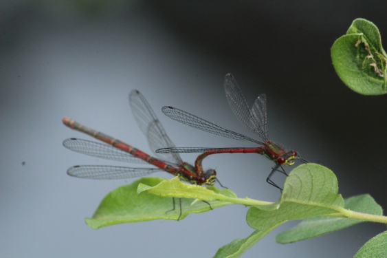 2018 May 27 Large Red Damselfly copulation Millpond
