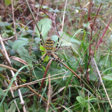 Female Wasp Spider